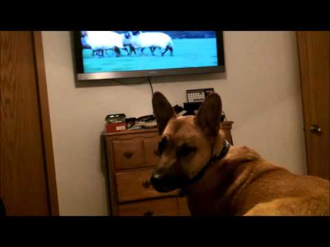 Brody watching South Dakota PBS - Smart Dog