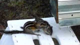 Mama chipmunk trying to put her baby to bed
