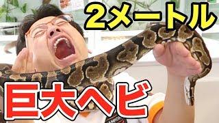 【ドッキリより地獄】体長2mのヘビに絡まれた結果・・・ thumbnail
