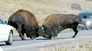 Yellowstone Bison During the Rut - Some Cute, Some Fighting