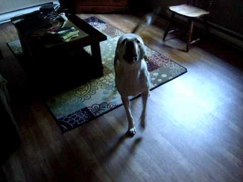 Szczekanie psa: dlaczego pies szczeka i jak oduczyć psa szczekania?