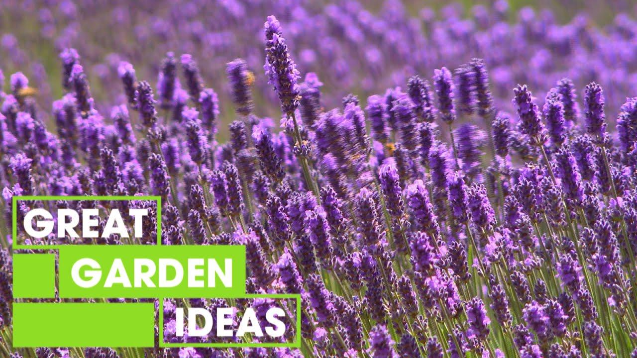 Lavender  GARDEN  Great Home Ideas