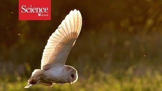 Why don't barn owls lose their hearing?