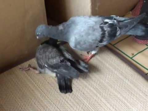 Makura pigeon taking care of sick baby pigeon - YouTube