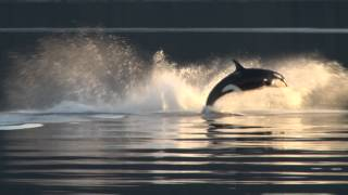 Killer Whales Up-Close in Alaska