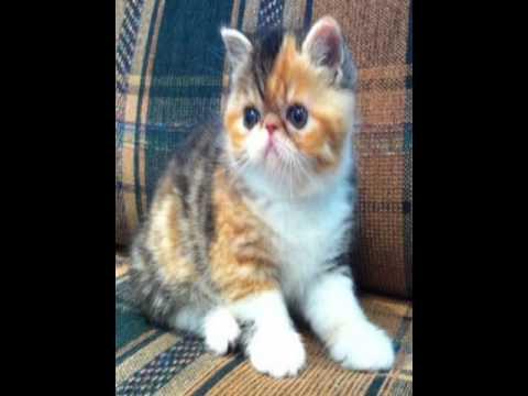 Exotic Shorthair Cat Sale Philippines