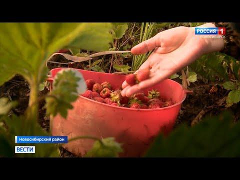 В Новосибирской области начали собирать землянику