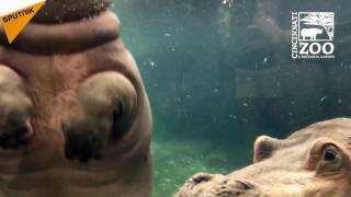 Baby Hippo Fiona Spends Time With Her Mom and Dad