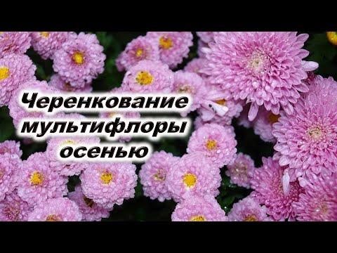 Черенкование хризантемы мультифлора осенью. Какие черенки укореняются В чем укоренять Тепличка для ч