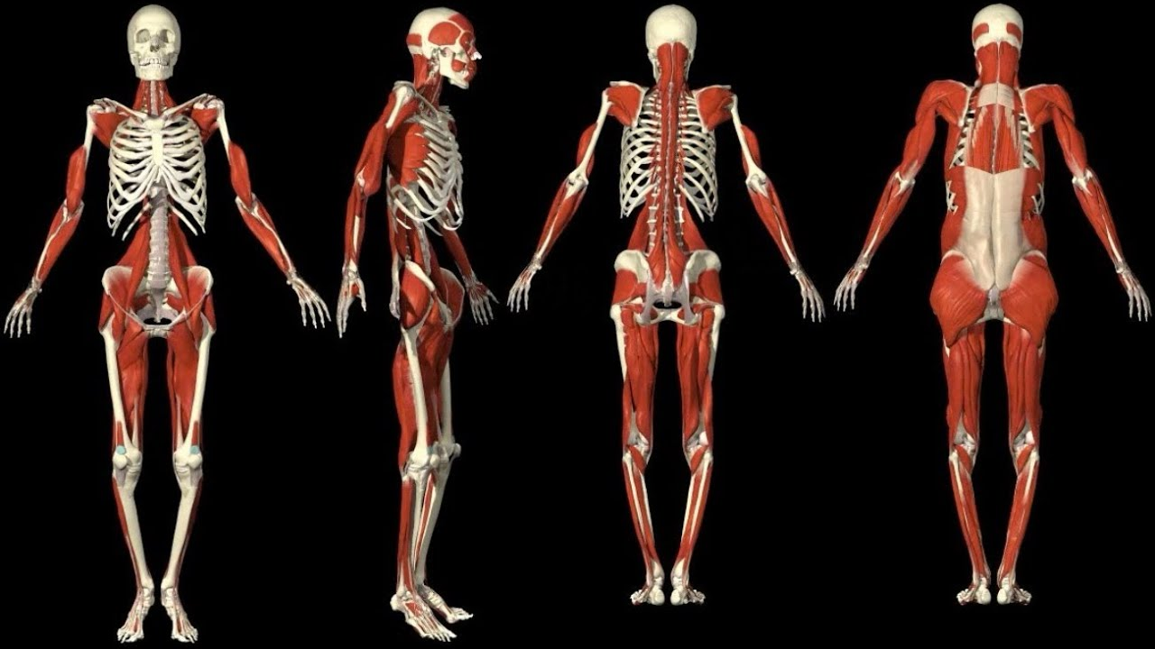 3d 3d Anatomy Muscles Human Youtube