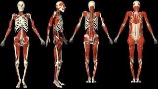 3D Анатомия мышц человека. 3D Anatomy muscles human.