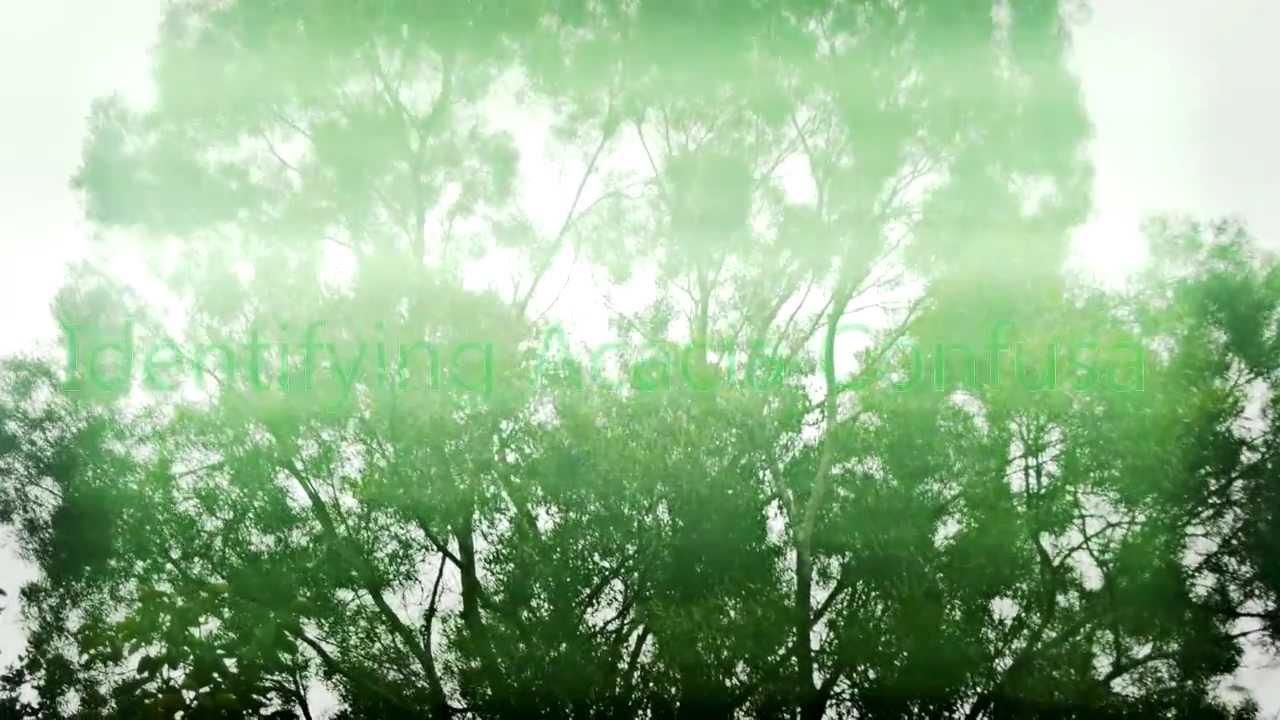 Identifying Acacia Confusa ~ Magic Tree of Taiwan