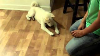 Kolbi White Shiba Inu doing Sit, Down, Shake, Stay.