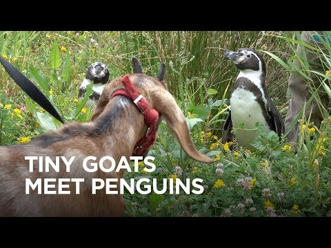 Tiny Goats Visit Penguins