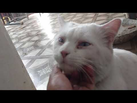 Friendly Turkish angora cat