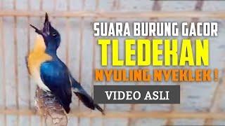 Tledekan Gacor Anteng Volume Keras - Suara Burung Sulingan