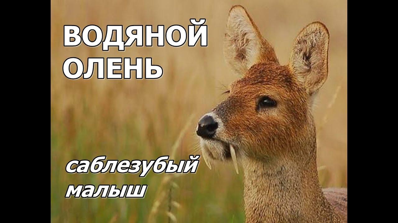 ВОДЯНОЙ ОЛЕНЬ - Саблезубый малыш