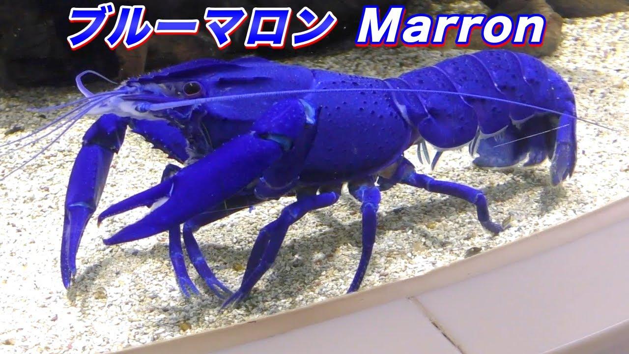 【巨大ザリガニ】ブルーマロンの生態〜世界で3番目に大きい「マロン」というザリガニ(Marron /Crayfish)〜