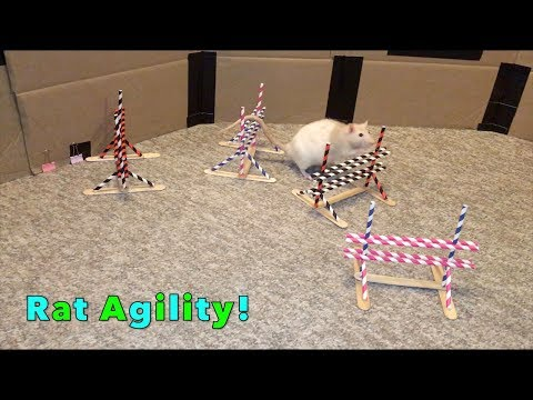 Rat Agility Fun (w/Cookie And Latte)!