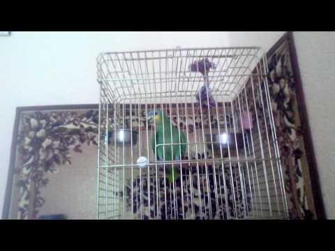 видео: Говорящий попугай венесуэльский амазон Диего.