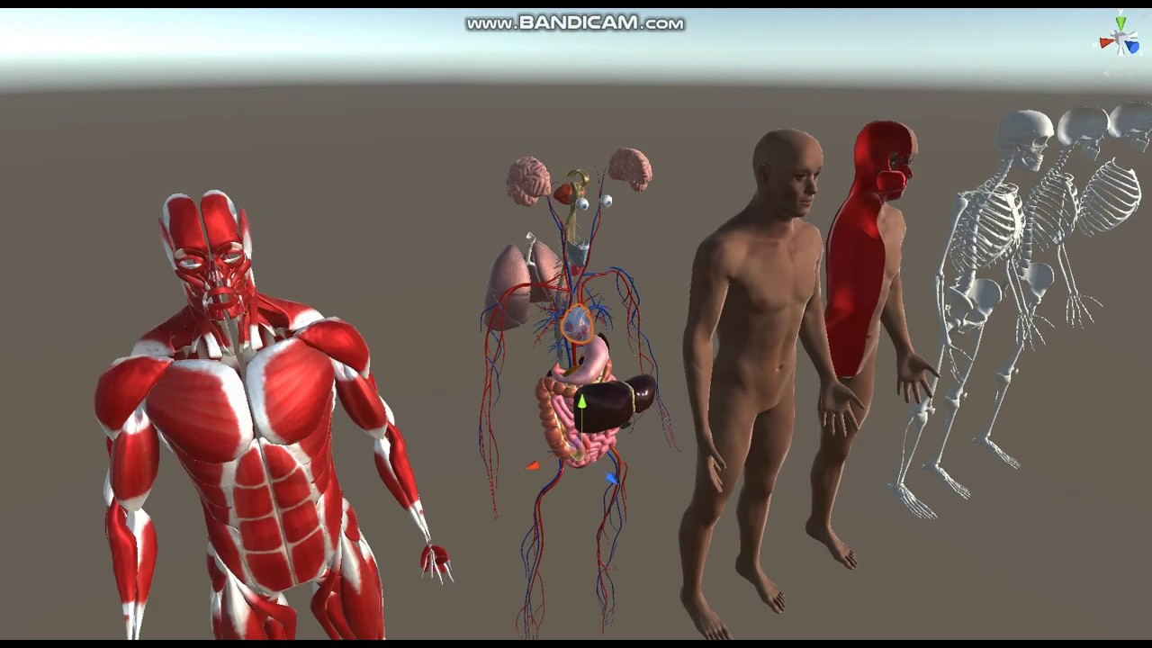 Human Humanoid Skeleton Muscle Skin Veins Stomach Liver Heart Lungs Scull  Anatomy Low Poly 3D Model
