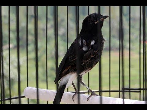 Burung Decu Gacor Berkicau Penuh Emosi
