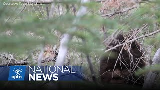 Taking B.C. government to court over Bigfoot | APTN News