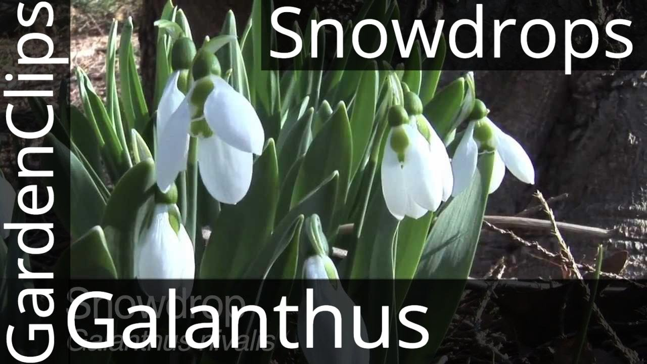 snowdrops galanthus nivalis snowdrop flower how to grow