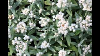 видео Анафалис жемчужный Anaphalis margaritacea