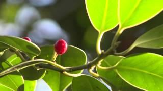 Красная ягода на зеленом фоне листьев