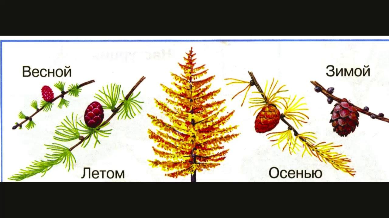 Дерево лиственница картинки для детей