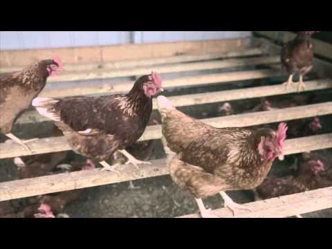 30 Free Range Chicken  Farming - Yarra Farm New South Wales