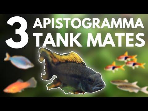 Top 3 Apistogramma Tank Mates (Dwarf Cichlid)