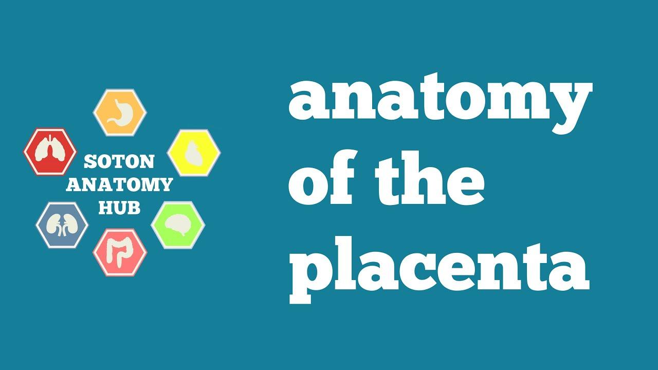 Placenta anatomy - YouTube