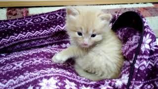 Маленький смешной пушистый котёнок. Мама не кормит. Чем кормить, как назвать. Какая кличка подходит?
