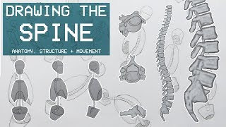 Drawing The SPINE - Anatomy, Structure & Movement - Anatomy 2