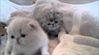 cute exotic shorthaired kitten video1.wmv