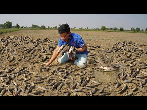 Dry Copper Snakehead Fish In Dry Season 2021 - Best Fishing Catfish U0026 Snakehead In Wild Dry Soil