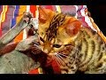Bengal Kitten and Russian Blue Cat- WHO WILL WIN?!?!?!?! A must see!
