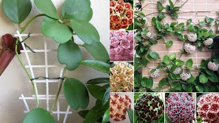 555.Complete Guide for Beginners to grow Hoya Plant/Hoya plant ke baare me Jaankari 🌺(Hindi/Urdu)