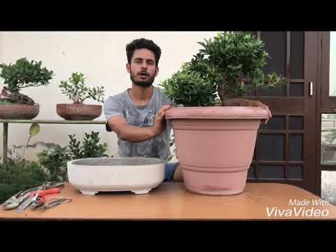 Ficus bonsai repotting and soil mix preparation