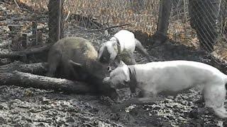 Forestale: addestravano cani a combattere contro i cinghiali. Denunciati in 7