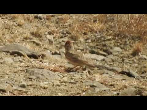 Rufous-capped Lark (formerly Blanford's Lark) in the Aseer highlands