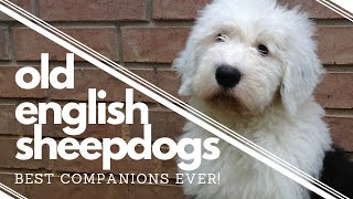 Wish We had Known BEFORE getting an Old English Sheepdog┃Best Companion┃Ed&Mel