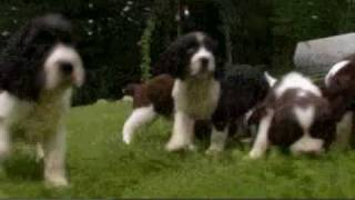 Dogs 101: English Springer Spaniel