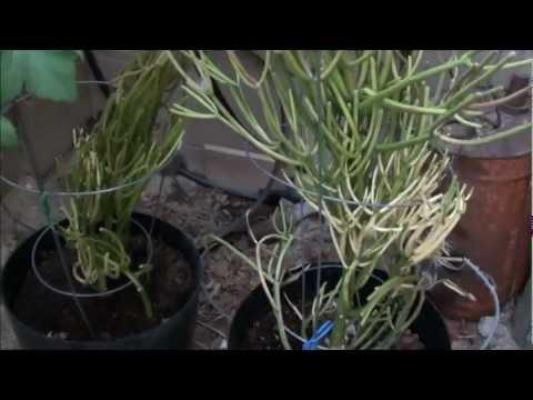 Planting Firestick Cactus Cuttings - Pencil Cactus