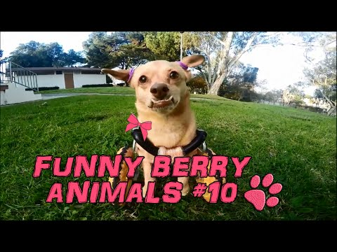 Funny animals - cute cats dogs, Pet Compilation 2015    Funny Berry Animals #10