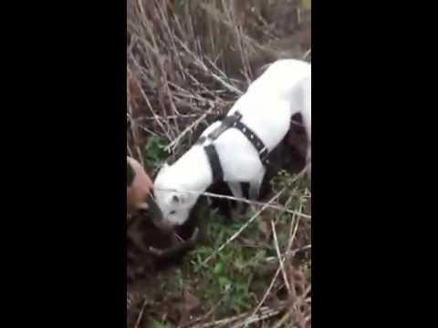 perro cazando nutria