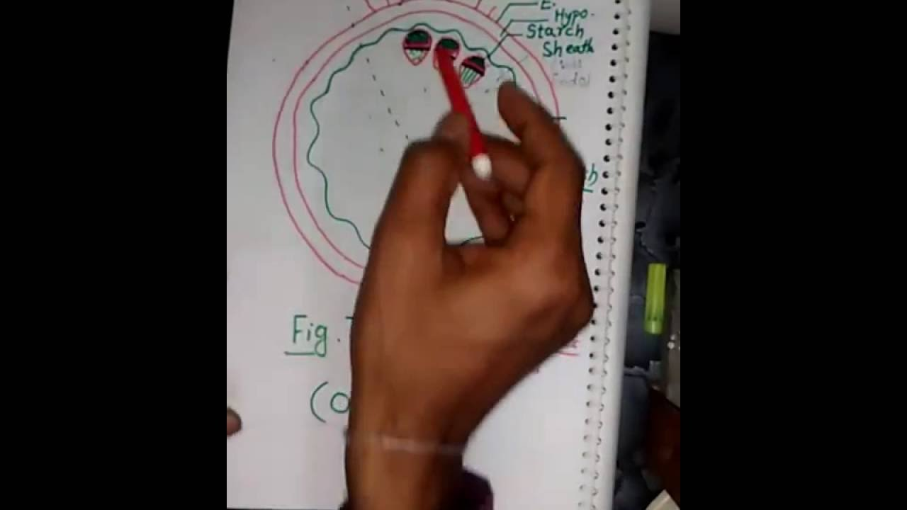 Dicot and Monocot Stem Anatomy in hindi for BSc - YouTube