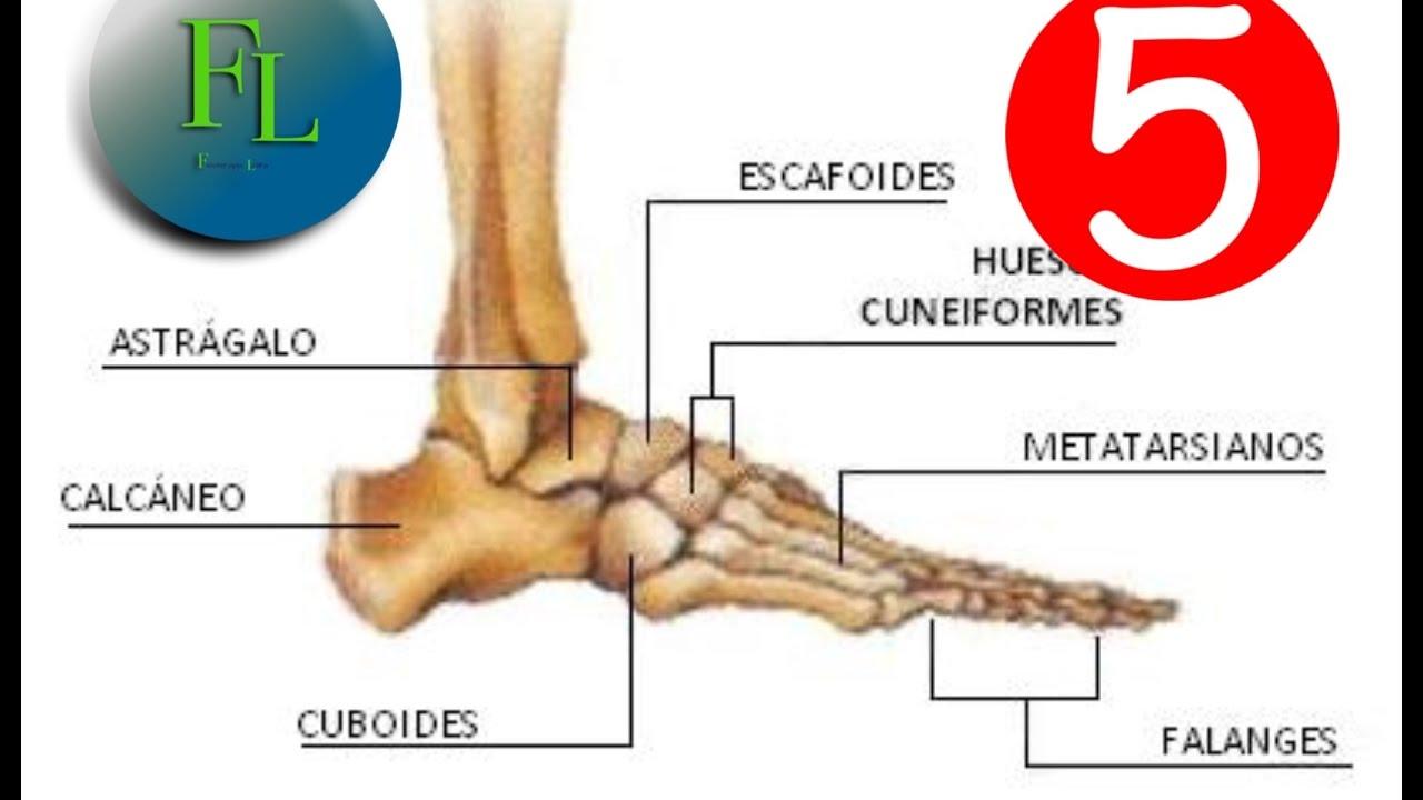 Anatomía, huesos del pie - YouTube